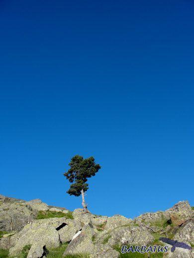 pino solitario