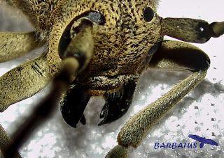 Saperda carcharias  (perforador del chopo)