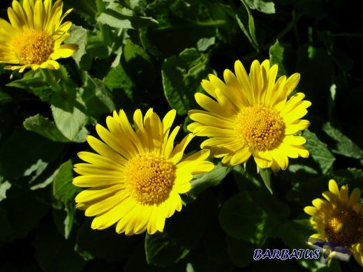Doronicum grandiflorum, Falsa Arnica