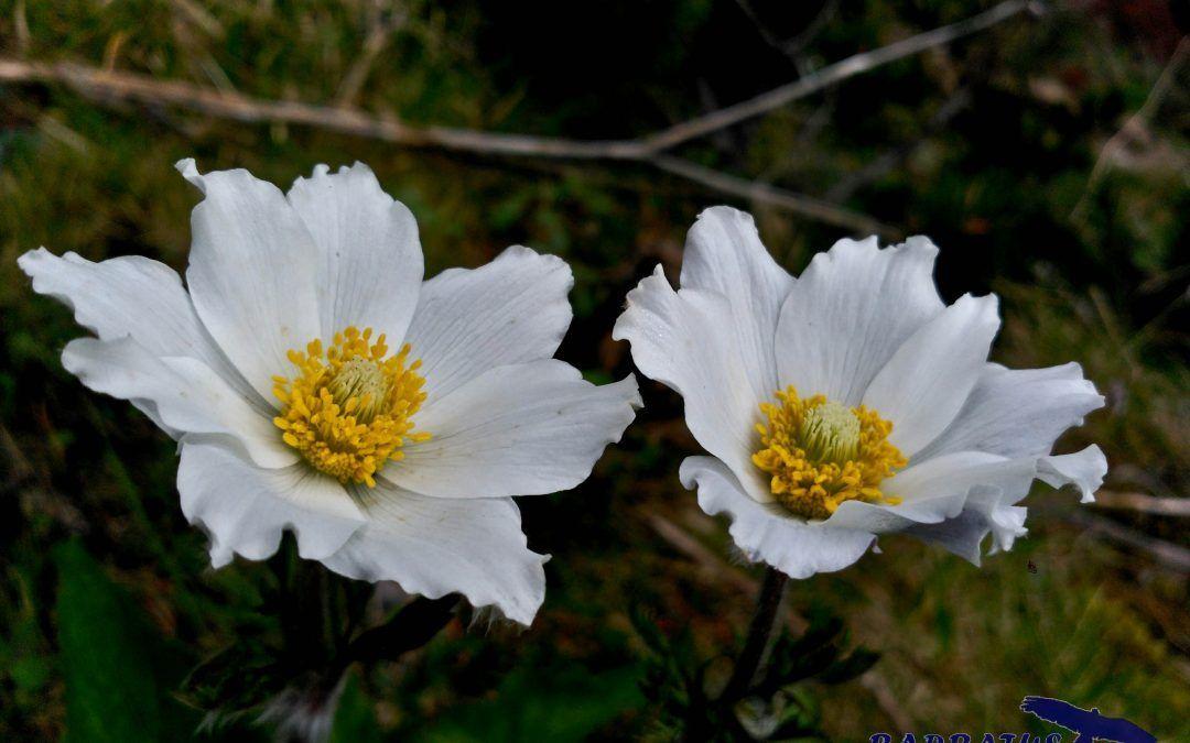 Pulsatilla alpina (Flor de viento)