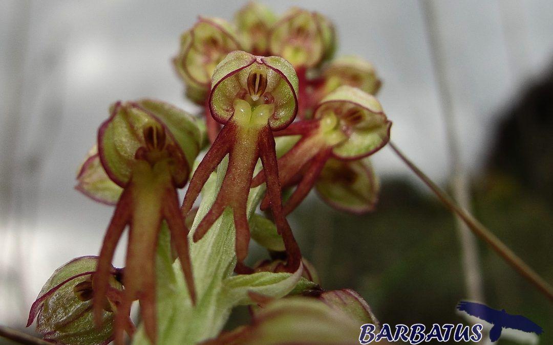 ORQUIDEA DEL AHORCADO Orchis anthropophora