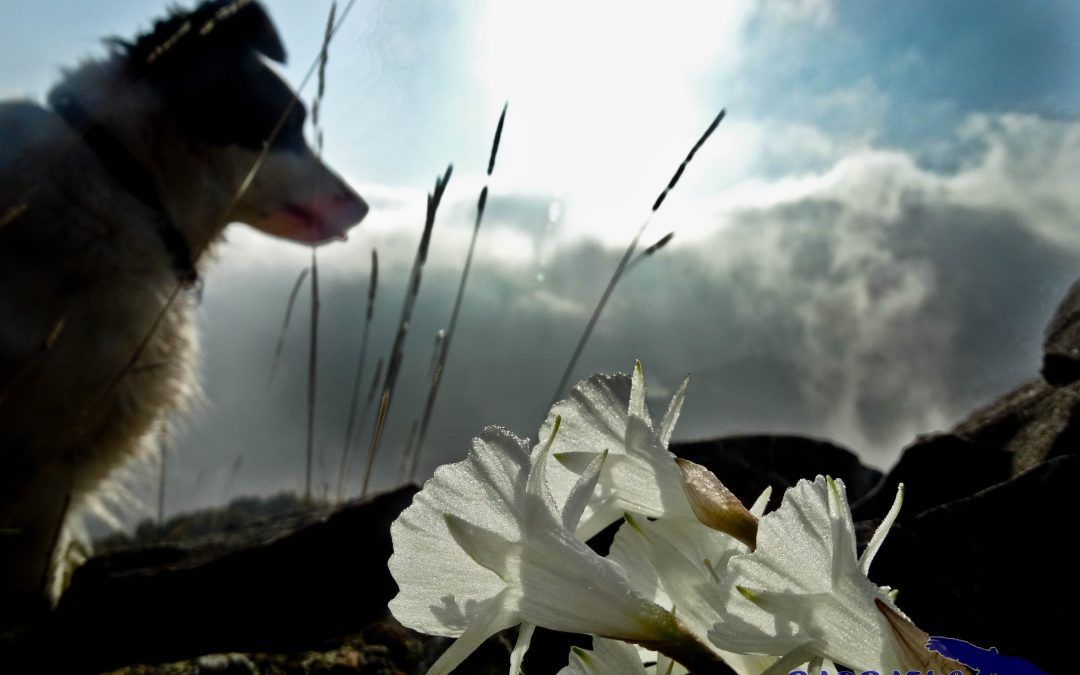 Narcisus cantabricus  y el hibrido