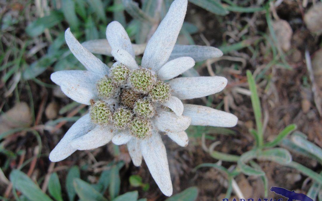 Leontopodium alpinum,   Flor de nieve, Edelweiss.