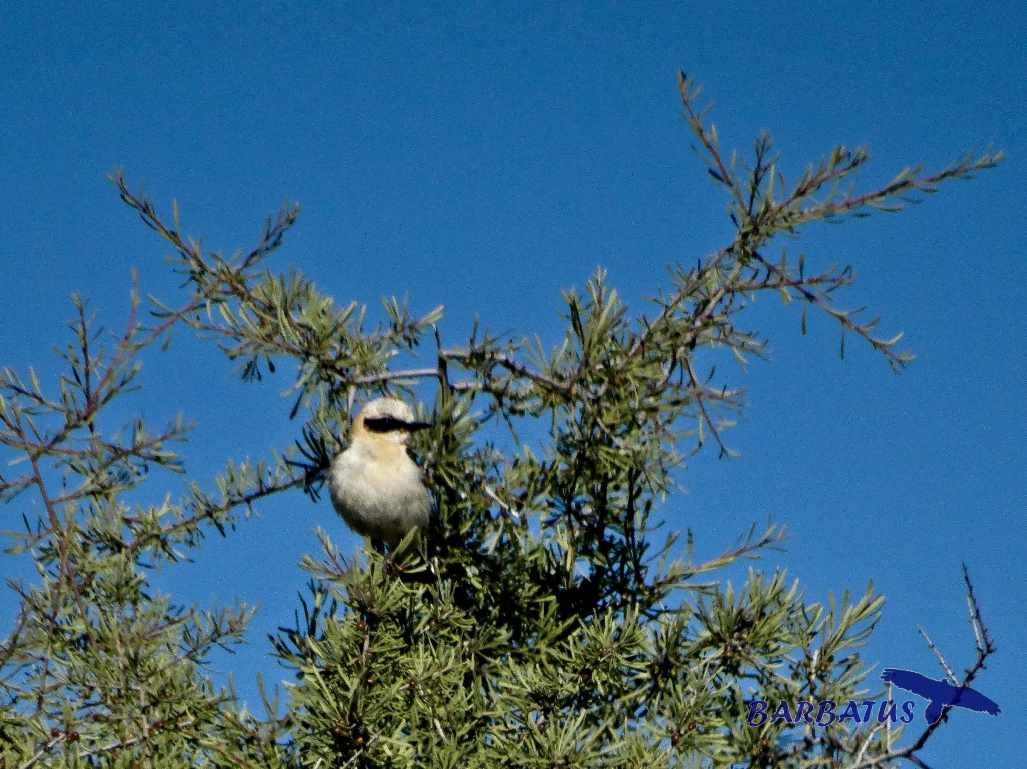 Collalba rubia ( Oenanthe hispanica)
