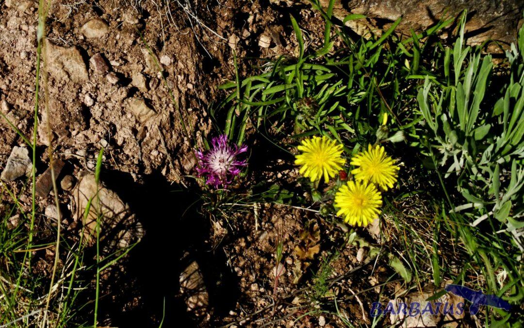 Centaurea linifolia