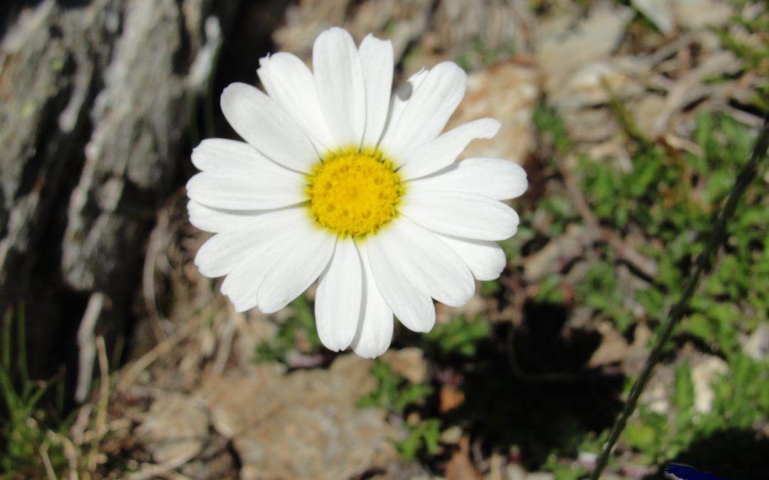 LEUCANTHEMOPSIS ALPINA (margarita alpina)
