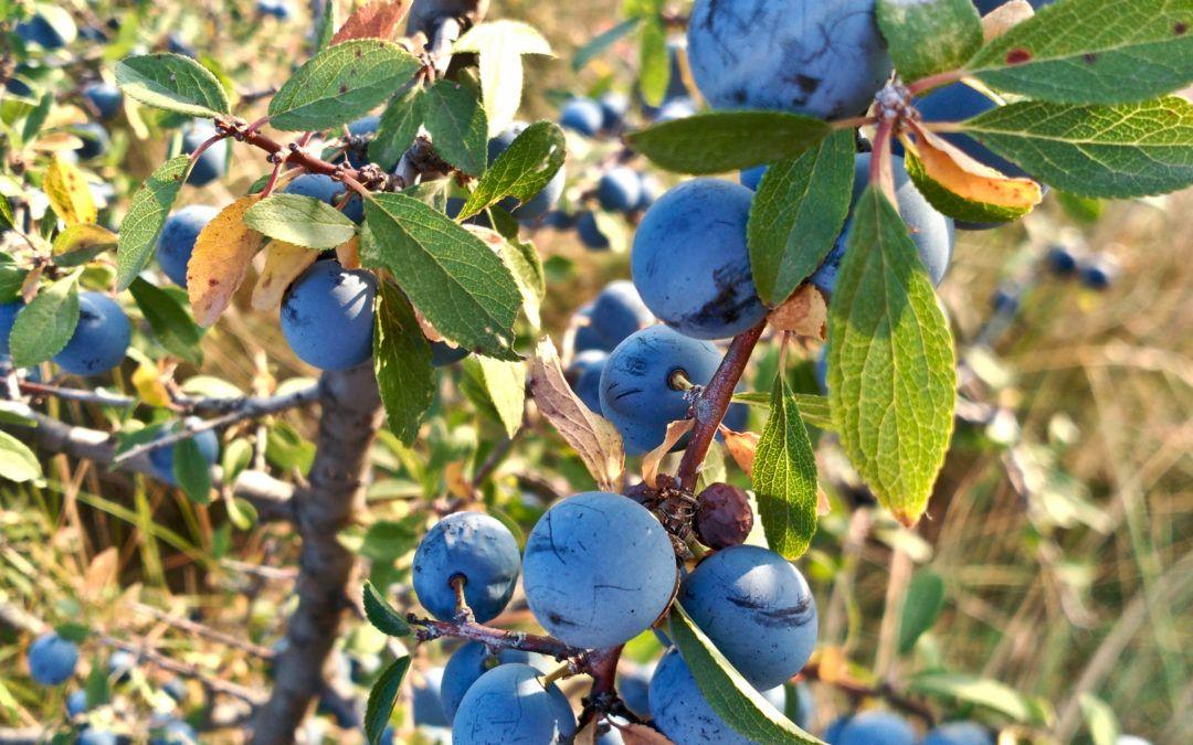 Prunus spinosa (Arañon)